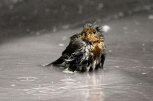 A tiny, wet bird sitting in an outdoor puddle while it rains